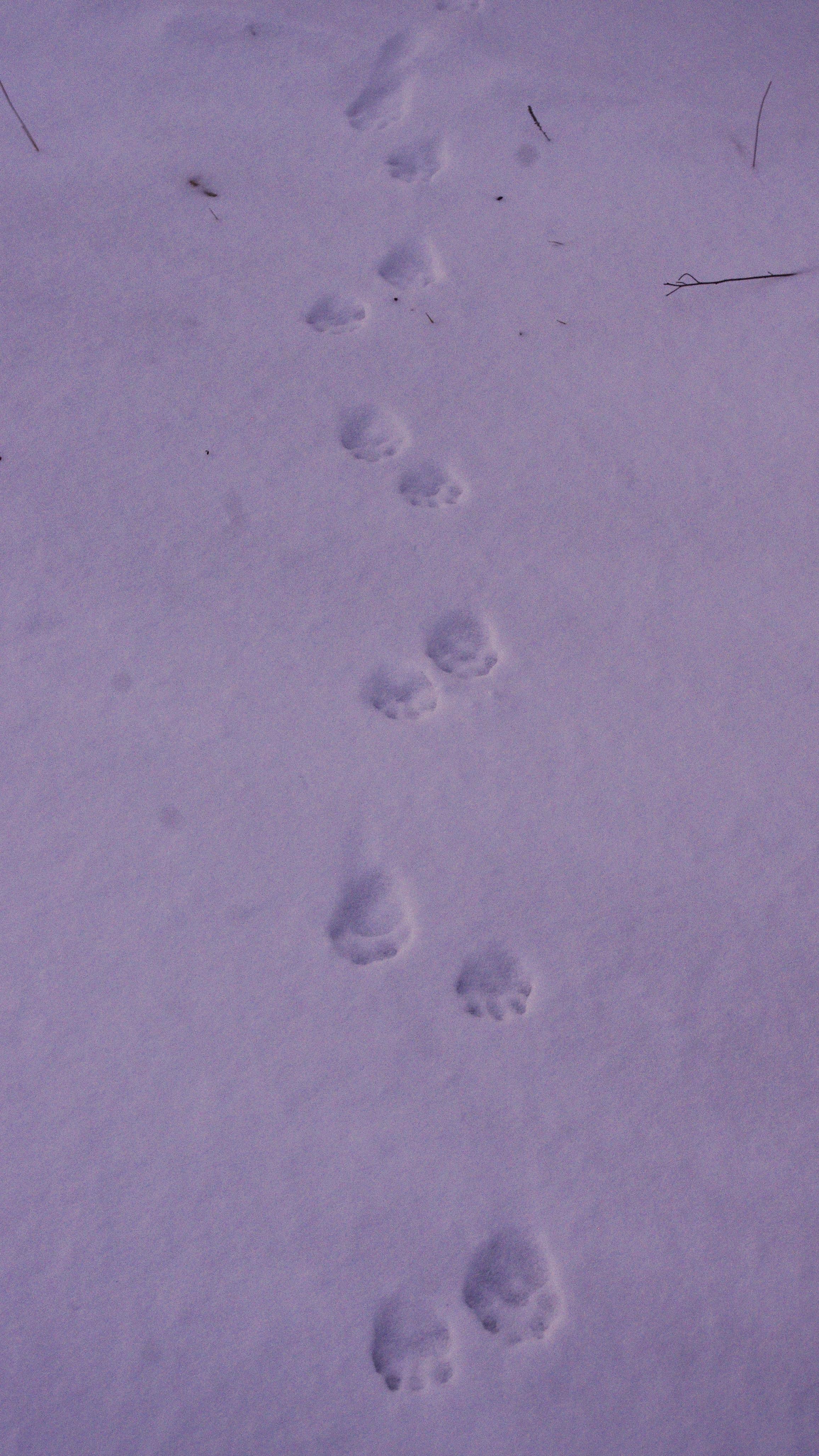 Winter Tracking Carnivores | VASSA Nature Report