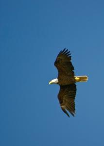 eagle flying final