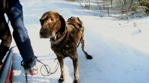 Gabby preparing to go skijoring